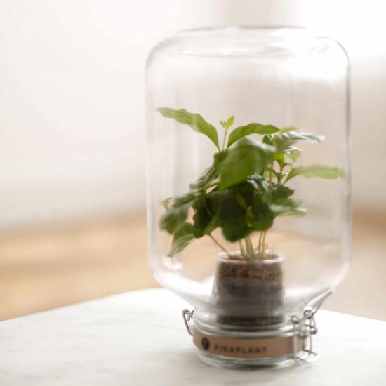 Pikaplant Jar Coffea Arabica Mini-Ökosystem Kaffeebaum 349_COFFEA